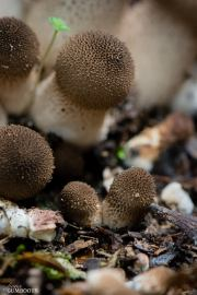 Lycoperdon perlatum 16th April 2016 Mt Field