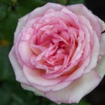 ROSE OF THE DAY – THE HAGUE