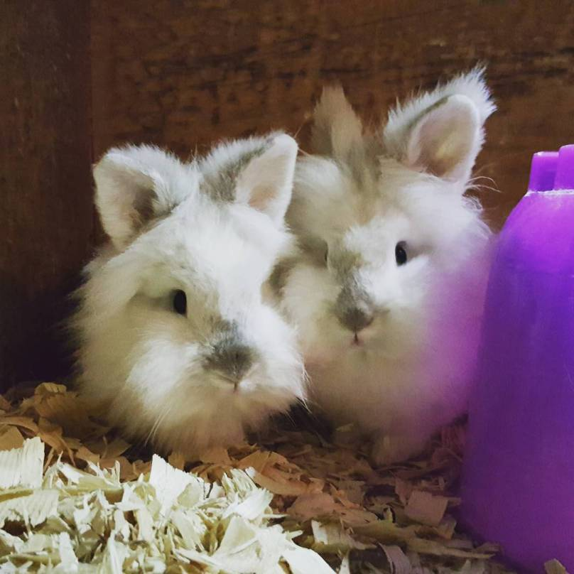 two small white bunnys
