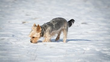 do yorkies get cold