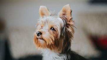 do yorkies get attached to one person