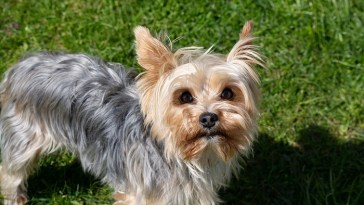 what is the average lifespan of a Yorkie