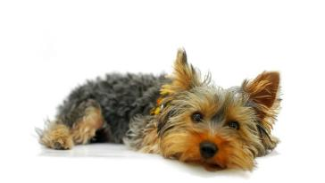 yorkie vaccine schedule everything you need to know