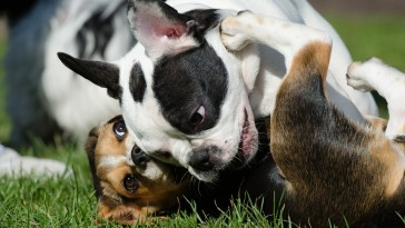 are French bulldogs good with other dogs