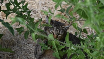 can cats eat mint leaves