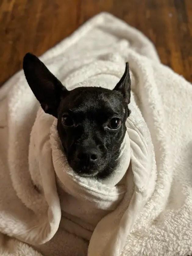 Why do Chihuahuas burrow?