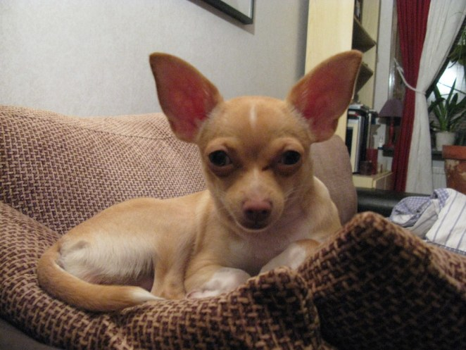 Why does my Chihuahua have bad breath?