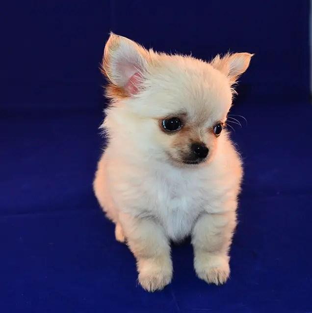 When do Chihuahuas Stop Growing?