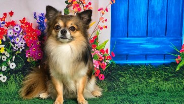 – Are Chihuahuas Protective?