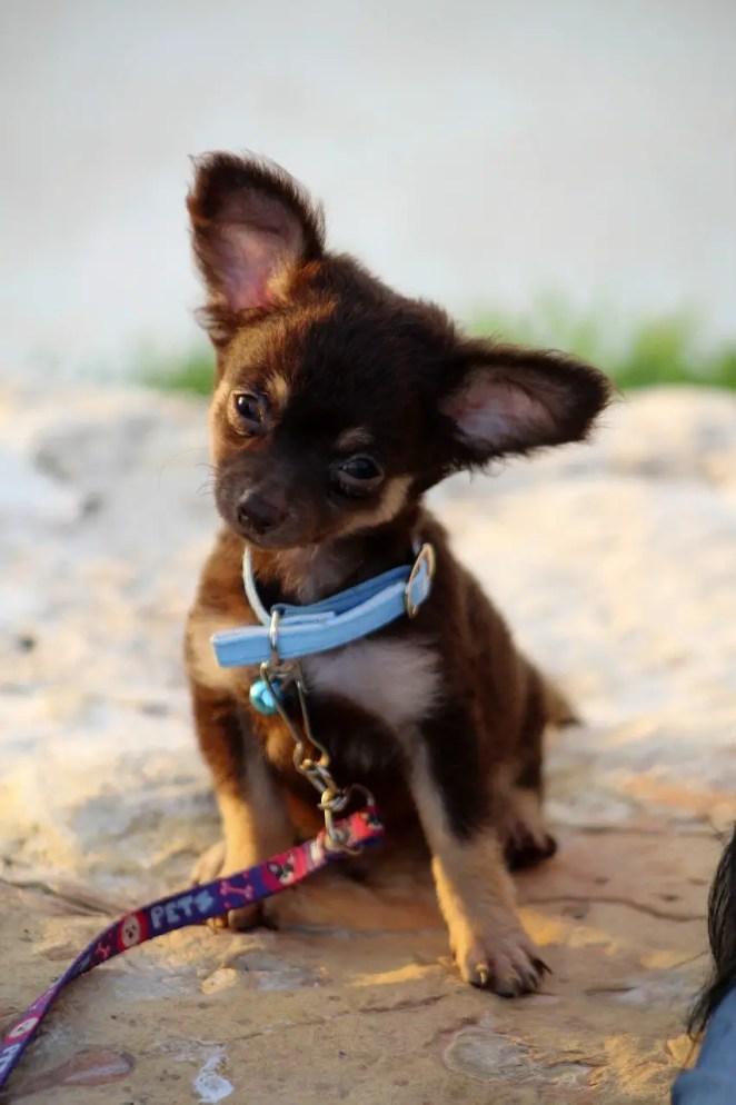 Are Chihuahuas smart?