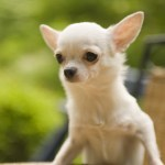why do Chihuahuas have big ears