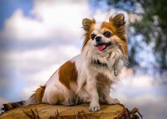 How high can Chihuahuas jump?