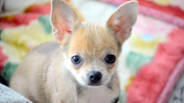 why are chihuahuas so nervous