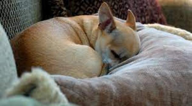Why does my Chihuahua snort like a pig?