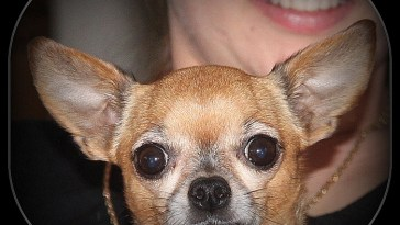 how to get a Chihuahua to like you