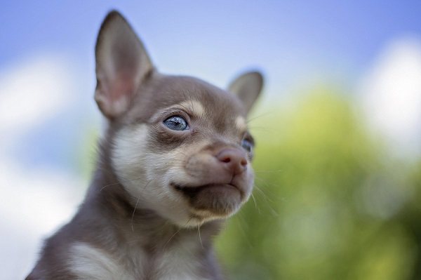 Why do Chihuahuas eyes water?