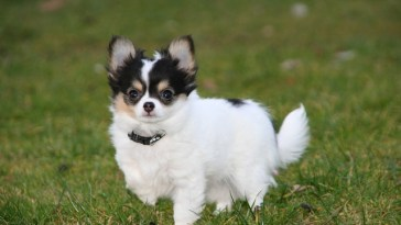 how much should a chihuahua eat a day