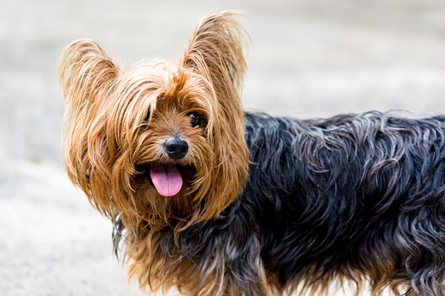 why do yorkies have bad breath