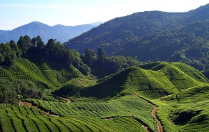 Monday's Tea: El chá de Brasil