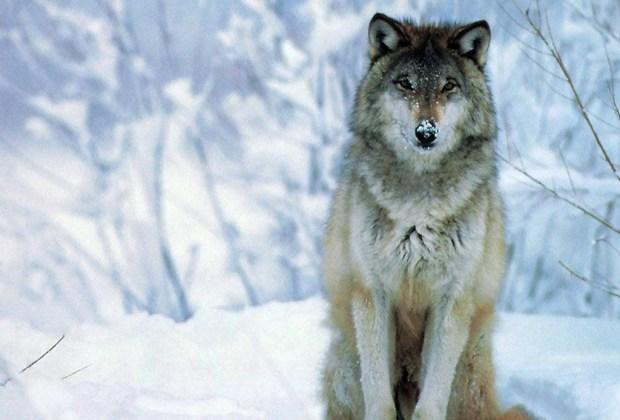 ¿Te gustaría ver la aurora boreal o un oso polar de cerca? ¡Te decimos cómo! - lobo-1024x694