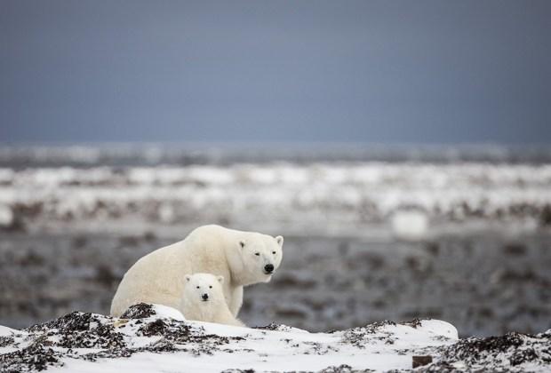 ¿Te gustaría ver la aurora boreal o un oso polar de cerca? ¡Te decimos cómo! - oso-polar-1024x694