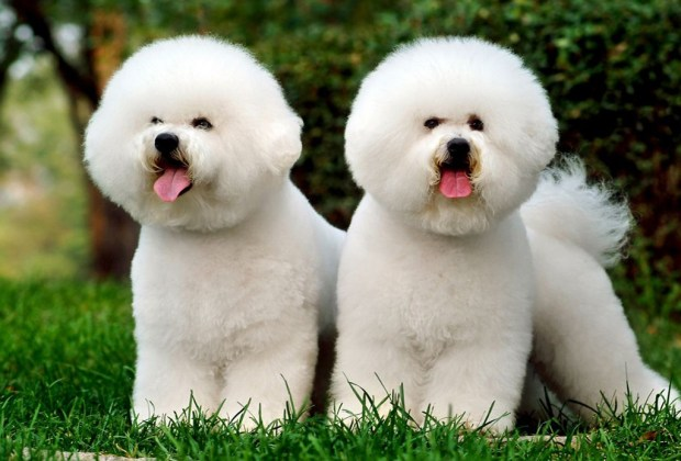 Las 11 razas de perros más tiernas - bichon-frise-perros-1024x694