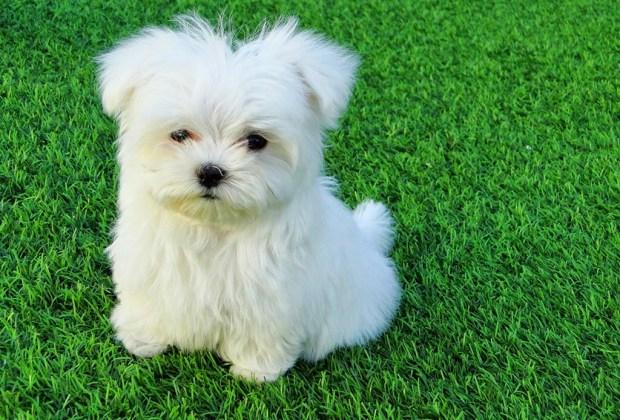 Las 11 razas de perros más tiernas - bichon-maltes-1024x694