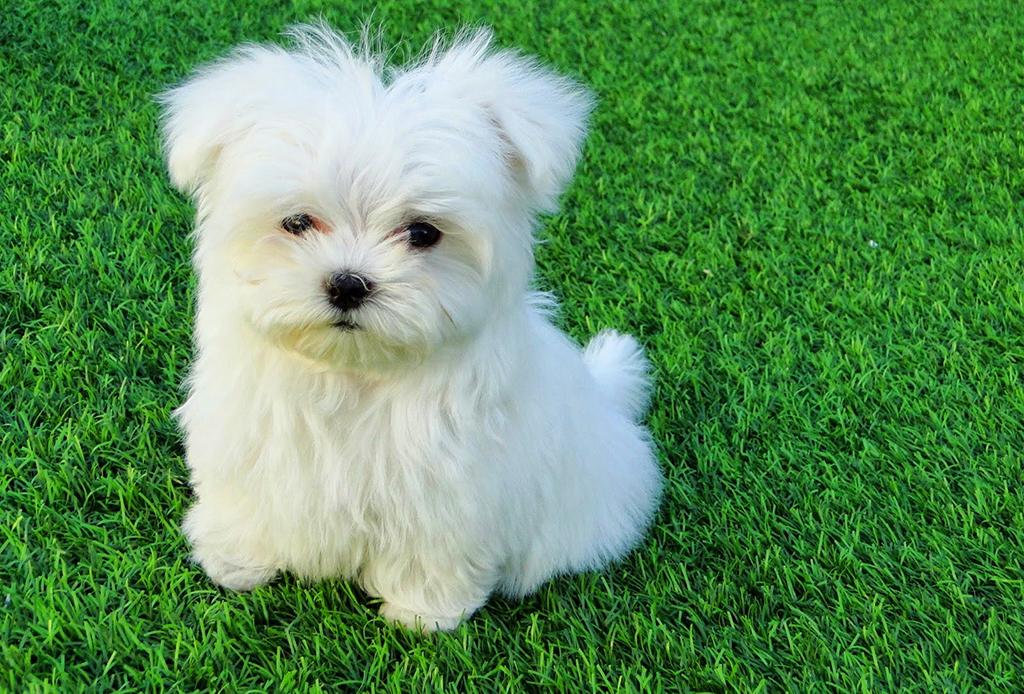 Estas razas de perros conviven perfectamente con los felinos - bichon-maltes-1024x694