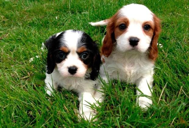 Las 11 razas de perros más tiernas - cavlier-perros-1024x694