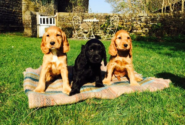 Las 11 razas de perros más tiernas - cocker-spaniel-1024x694