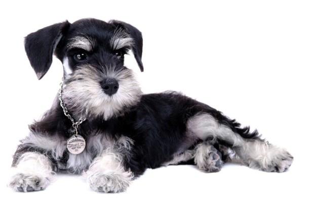 Las 11 razas de perros más tiernas - schnauzer-1024x694