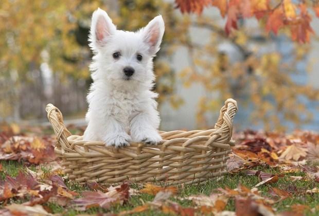 Las 11 razas de perros más tiernas - west-perros-1024x694