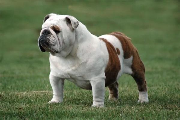 Descubre cuáles son las 7 razas de perros más caras del mundo - ottoml003