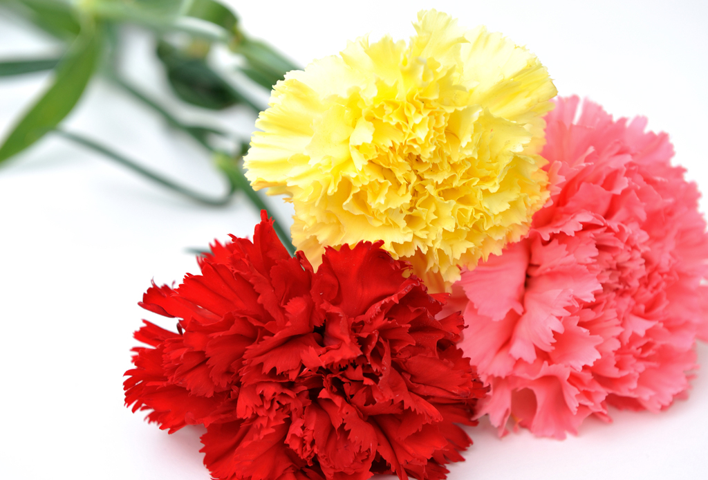 La guía infalible para saber el significado de las flores - clavel