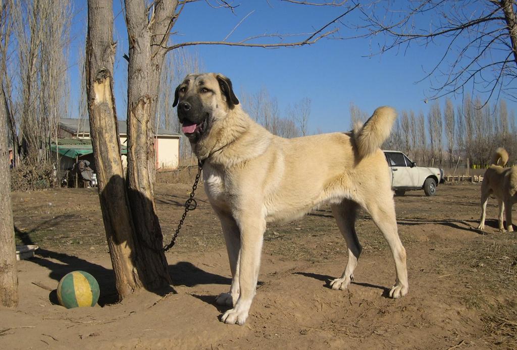 Las 10 razas de perro más grandes del mundo - perros-mas-grandes-del-mundo-10