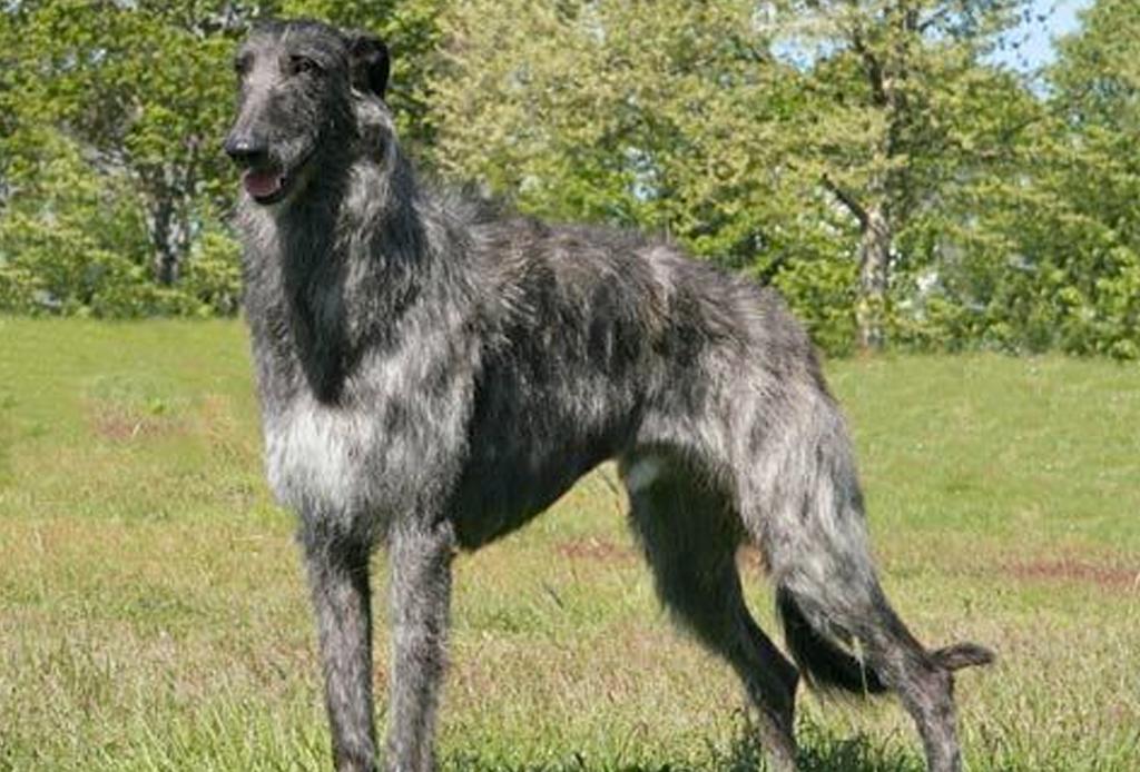 Las 10 razas de perro más grandes del mundo - perros-mas-grandes-del-mundo-5