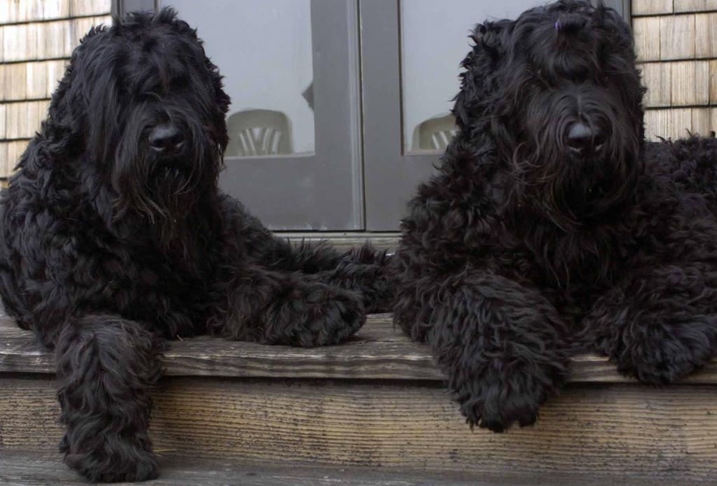 Las 10 razas de perro más grandes del mundo - perros-mas-grandes-del-mundo-black-russian