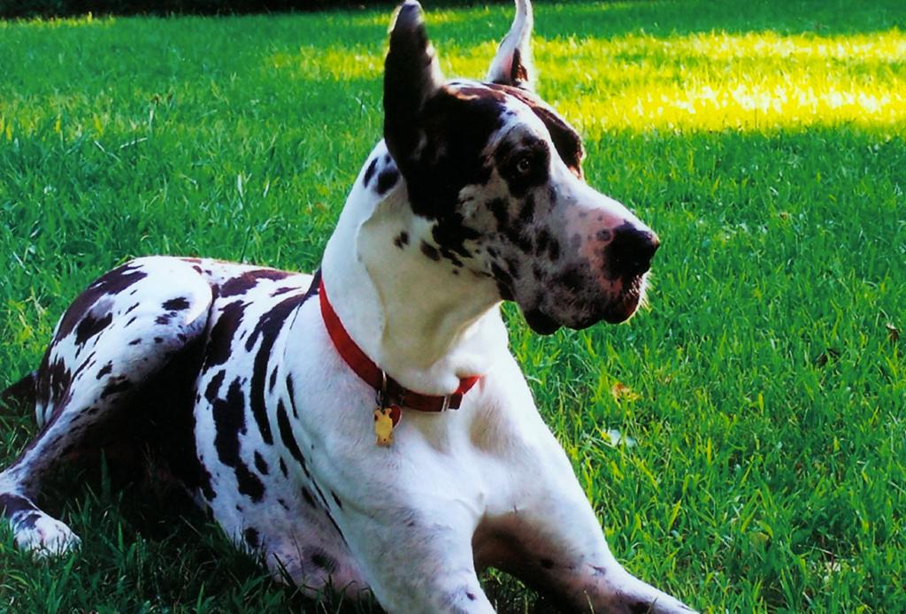 Las 10 razas de perro más grandes del mundo - perros-mas-grandes-del-mundo-gran-danes