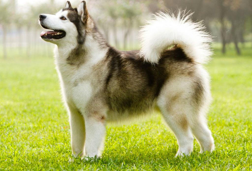 5 razas de perro que no sabías que eran de origen canadiense - perro-1