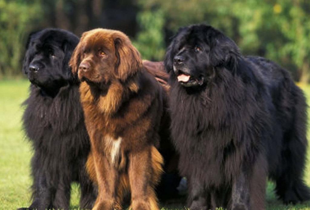 5 razas de perro que no sabías que eran de origen canadiense - raza-perro