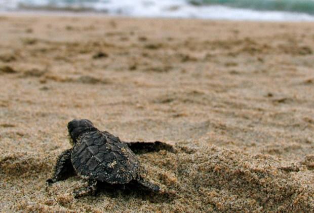 Costa Careyes: la fascinante playa mexicana que fusiona exclusividad, ecología y arte - cc-tortuga-1024x694