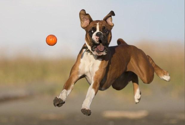 Razas de perros ideales para convivir en familia - perro-boxer-1024x694