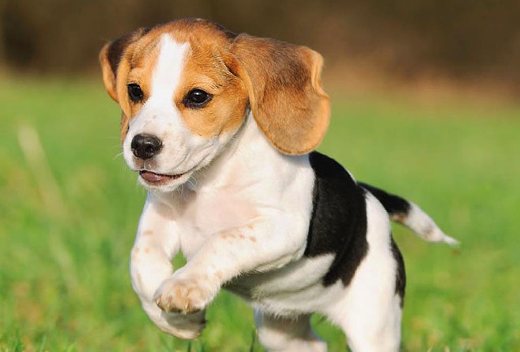 Estas razas de perros conviven perfectamente con los felinos - perros-beagle-1024x694