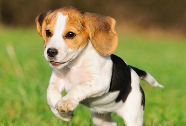 Razas de perros ideales para convivir en familia - perros-beagle-1024x694