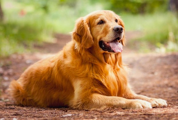 perros-golden-retriever