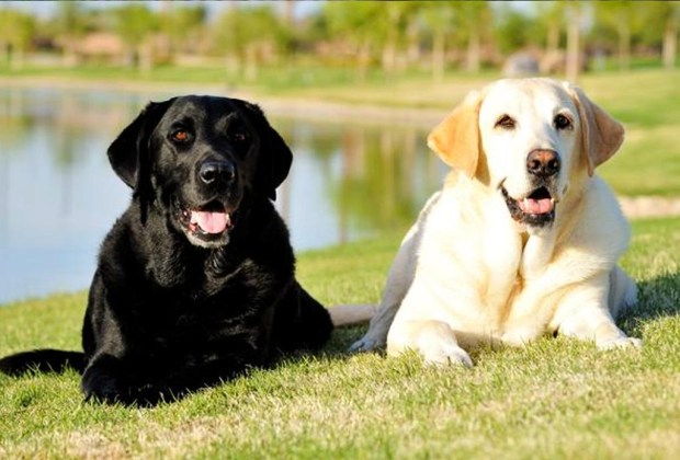 Razas de perros ideales para convivir en familia - perros-labrador-1024x694