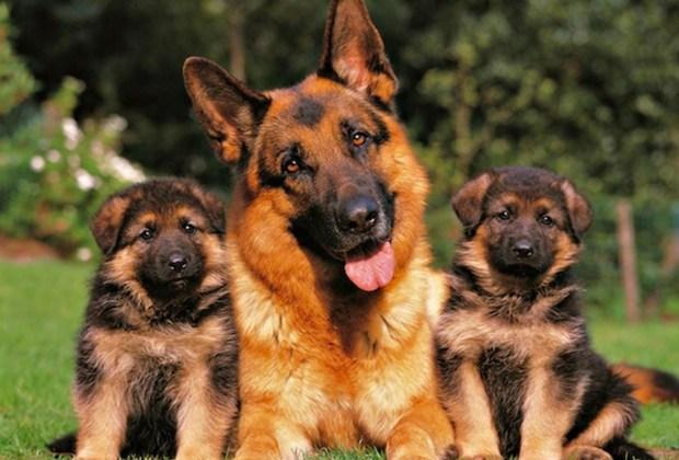 Razas de perros ideales para convivir en familia - perros-pastor-aleman-1024x694