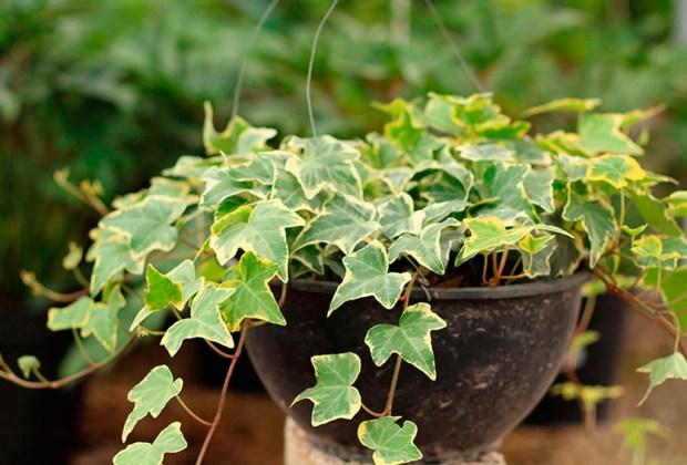 Tener estas plantas en tu cuarto te ayudará a dormir mejor - hiedra-1-1024x694