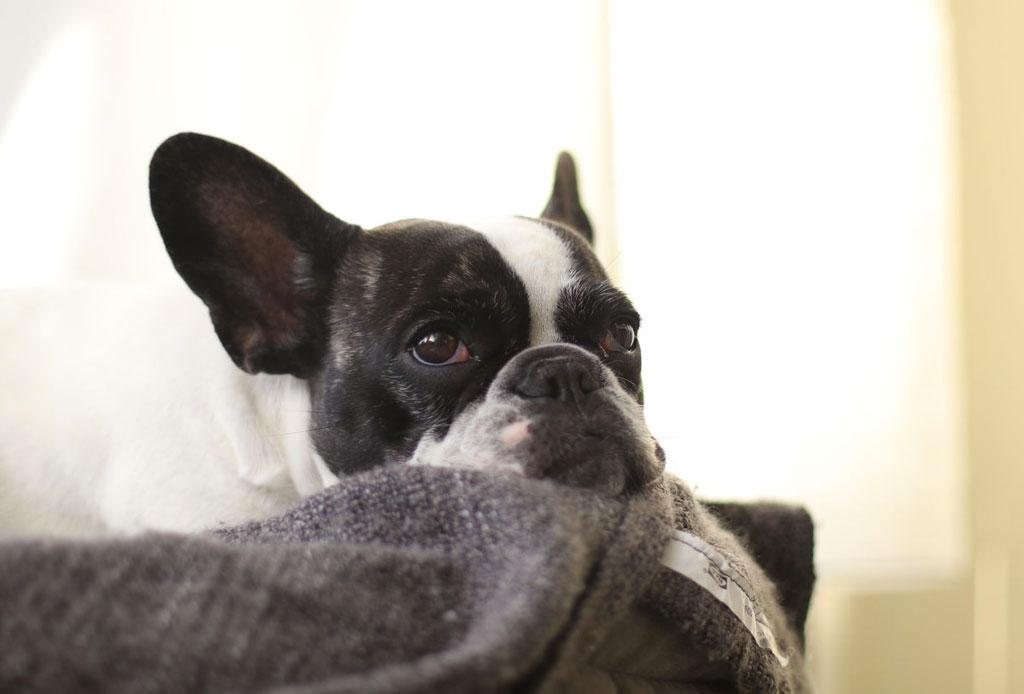 ¡Atención humano! A los perros adultos no les gusta que les hables como «bebés»