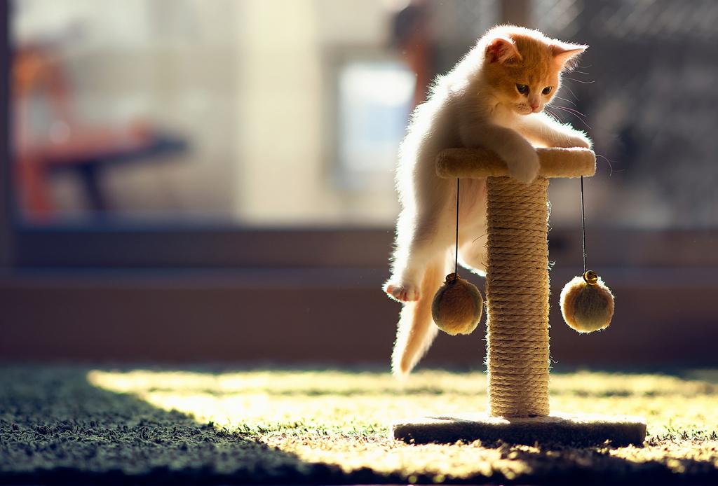 El ronroneo de los gatos puede calmar el dolor físico - gato-jugando-1024x694